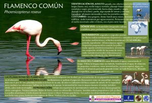 Flamenco común