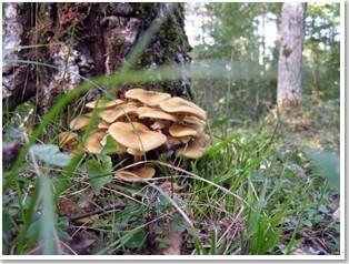 Armillaria mellea ideas medioambientales