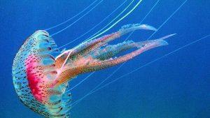 Medusa Pelagia Noctiluca Ideas Medioambientales